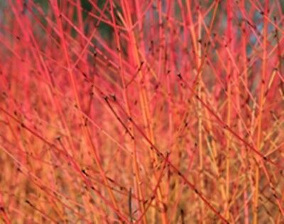 Hedging Dogwood Cornus hedge plants, year round colour bare root plant 3 sizes!