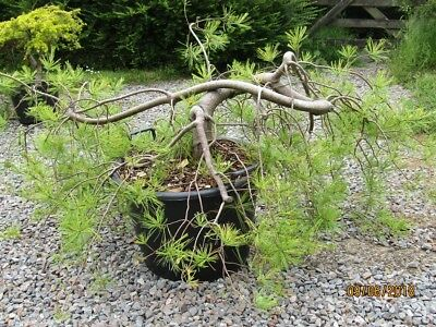 Pinus Strobus Pendula 40-50cm- grow it flat or upright weeping. Very choice cv