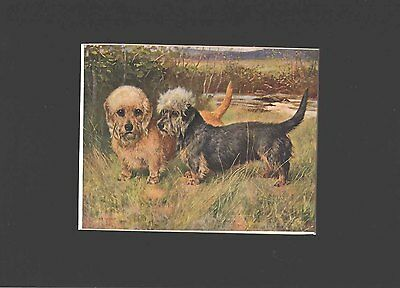 Antique Print 1907 Print Dandie Dinmont Dogs by Arthur Wardle Matted 9X12