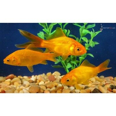 """Group of 3 to 4"""" BLACKOUT COMET GOLDFISH live for koi fish"""
