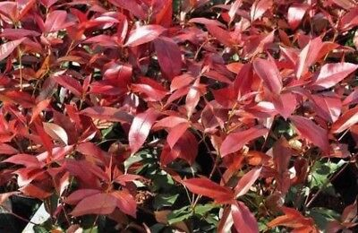 Pallet 12X 6-7Ft Large Photinia Red Robin Instant Evergreen Hedging Trees - Rb