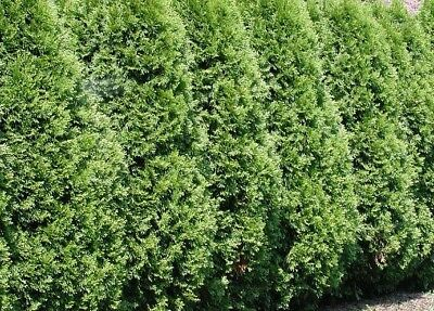 Pallet 12X 7-8Ft Large Thuja Plicata Western Red Cedar Instant Hedging Trees Rb