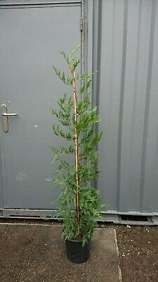 Green Leylandii Hedging Conifers 5 - 6ft 150 - 180cm