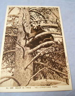 Antique Postcard Yellowstone Park Haynes Photo #532 Bear In Tree