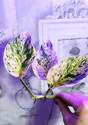 Rare Variegated Marbled Queen Pothos House Plant & Aquarium Nitrate Remover
