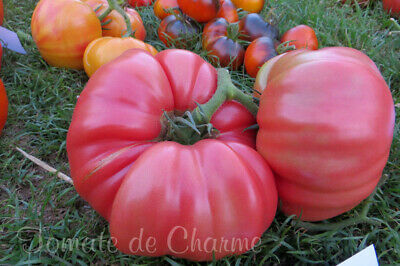 10 graines de tomate bio très ancienne Rose de Barbastro ENORME heirloom tomato