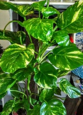 Rare Large Pothos Air Purifying Clean House Plant Aquarium Algae Remover XL