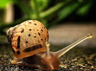 x1 Giant African Land Snail Friendly Family Home School Childs Class Baby