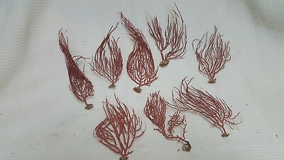 Lot of 8 Sea Fans Coral First Quality Natural color Beach Decor Seaside Crafts