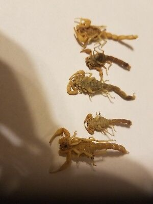 Real   Scorpion  Dried Lot