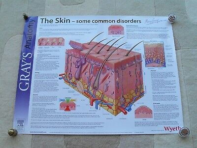 Skin Anatomy Poster from Gray's Anatomy Series