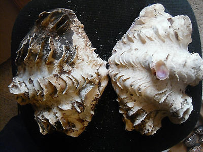 Tridacna squamosa - 10 1/4-inch fluted clam - both halves - the whole shell!