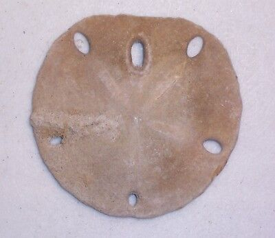 "Large 3.5"" FOSSILIZED SAND DOLLAR from Baja Ca., Gulf of California, Mexico"