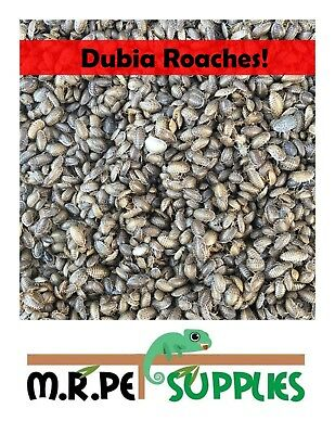 100,200,300 Dubia Roach - Lizard Reptile Food Feeders Cricket Alternative