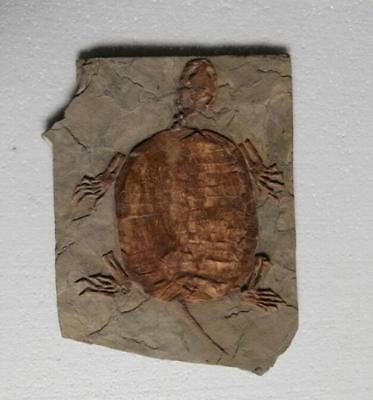 Rare Unique Chinese Best Triassic Keichousaurus Real Turtle Fossil
