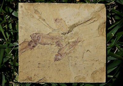 Fossil Fish Multiple Mortality Plate Matrix Green River Formation Eocene Wyoming