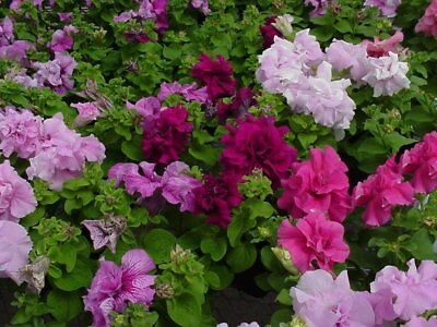 Petunia Seeds Double Artist Mix 50 Pelleted Petunia Seeds