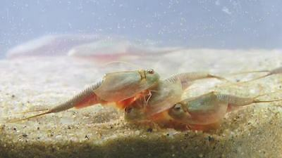 Triops Longicaudatus Egg Sand Mix - breeding - hatching - Triopseggs with sand