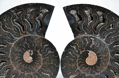 "RARE 1 in 100 BLACK PAIR Ammonite Crystal LARGE 98mm Dinosaur FOSSIL 3.9"" n2190"