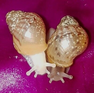 X2 Giant African Land Snails Friendly Class School Family Pair Peaceful Pets