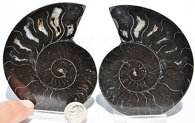 "RARE 1 in 100 BLACK PAIR Ammonite Crystal LARGE 91mm Dinosaur FOSSIL 3.6"" n1643"