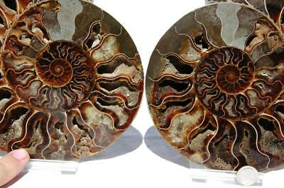 "Cut Split PAIR Ammonite Deep Crystal Cavity 110myo Fossil 205mm XXXL 8.0"" 1631xx"
