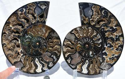 "Split PAIR Ammonite Deep Crystal Cavity 110myo Fossil 205mm XXXLARGE 8.1"" 2239xx"