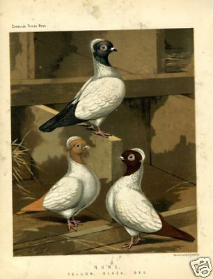 1875 Antique Print PIGEONS Fancy Breed NUNS Yellow Black Red CHROMO LITHOGRAPH