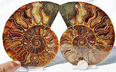 "Dinosaur PAIR Ammonite MultiColor Crystals LARGE 121mm 110myo FOSSIL 4.8"" n1682"