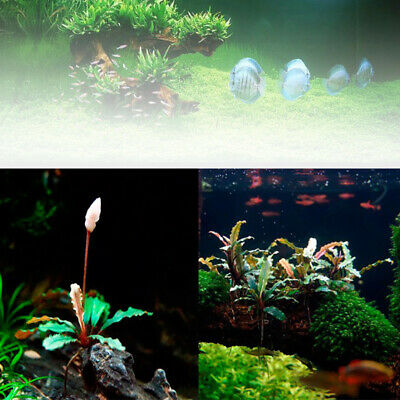 1000Pcs Bucephalandra Sordidul Seed Live Aquatic Plants Aquarium Water Grass