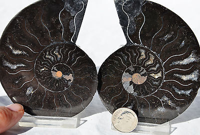 "RARE 1 in 100 BLACK PAIR Ammonite Crystal LARGE 88mm Dinosaur FOSSIL 3.5"" n2059"