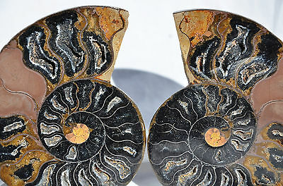 "RARE 1 in 100 BLACK PAIR Ammonite Crystal LARGE 97mm Dinosaur FOSSIL 3.9"" n2230"