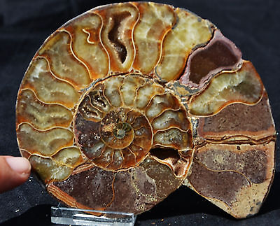 "Dinosaur SINGLE Ammonite MultiColor Crystals LRG 127mm 110myo FOSSIL 5.0"" n1776"