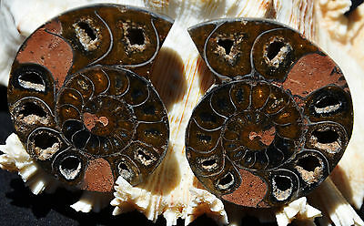 Cut Split Pair DOUBLE RARE BLACK ANAPUZOSIA Ammonite Dshaped 72gm MED 56mm n1576