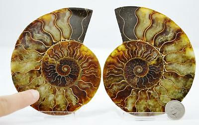 "6886 CUT Split PAIR Ammonite w/ Crystals LARGE 4.4"" 110myo Dino age Fossil 112mm"
