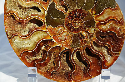 "Fossil Pair Ammonite Great Color Crystal Cavities XXLARGE 6.8"" 175mm n1130xx"