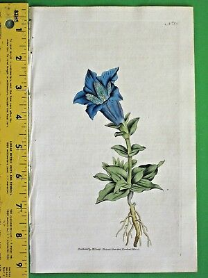 Large flowered Gentian,Early Curtis hand colored Eng.#51,1788