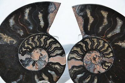 "RARE 1 in 100 BLACK PAIR Ammonite Crystal LARGE 84mm Dinosaur FOSSIL 3.3"" n2198"