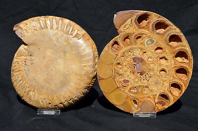 "RARE Perisphinctes 110myo Fossil Ammonite D Shaped Crystal XXL 7.2"" 182mm 6206dx"