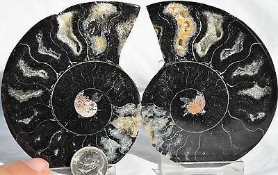 "RARE 1 in 100 BLACK PAIR Ammonite Crystal LARGE 89mm Dinosaur FOSSIL 3.5"" n2211"