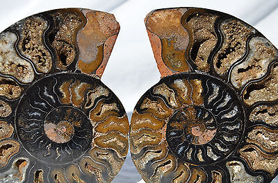 "RARE 1 in 100 BLACK PAIR Ammonite Crystal LARGE 125mm Dinosaur FOSSIL 5.0"" n2633"