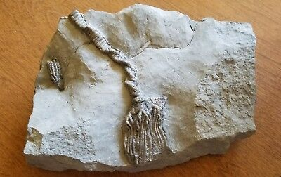 Rare and exceptionally preserved  fossils of crinoids