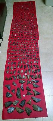 Huge lot of 585 Fossil Shark teeth Megs,Angy's,Great Whites,Mako's,Hemis & more
