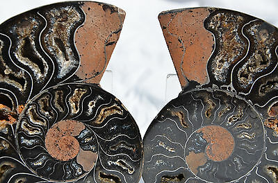 "RARE 1 in 100 BLACK PAIR Ammonite Crystal LARGE 123mm Dinosaur FOSSIL 4.8"" n1868"