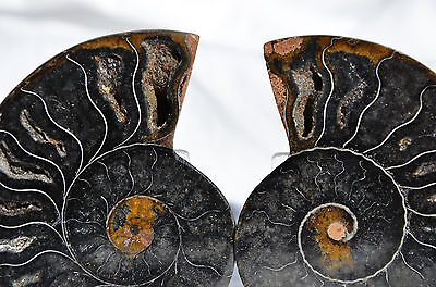 "RARE 1 in 100 BLACK PAIR Ammonite Crystal LARGE 91mm Dinosaur FOSSIL 3.6"" n2417"
