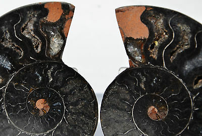 "RARE 1 in 100 BLACK PAIR Ammonite Crystal LARGE 87mm Dinosaur FOSSIL 3.4"" n2391z"