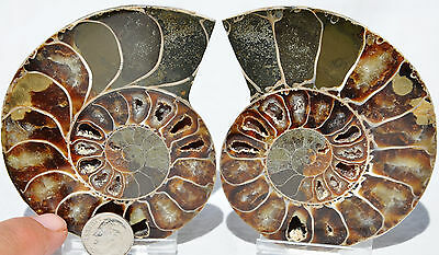 "Cut Split Pair RARE ANAPUZOSIA Ammonite D-shaped LARGE 96mm Fossil 3.8"" n8519"