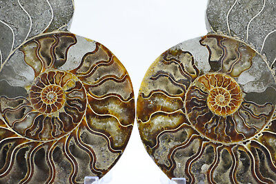"RARE 1 in 100 BLACK Ammonite PAIR Deep Crystals XXLARGE 7.3"" 185mm e3768xx"