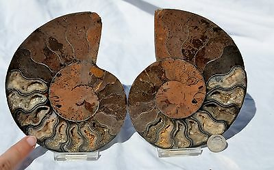 "RARE 1 in 100 BLACK Ammonite Pair Deep Crystals Xlarge 5.1"" 110myo 130mm e2189x"