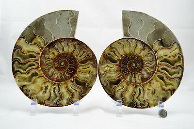 "Fossil PAIR Ammonite w/ Crystals XXXLRG 8.6"" 110 million years old 221mm e4247xx"